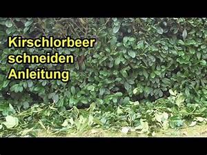Wie Kirschlorbeer Schneiden : kirschlorbeer richtig schneiden anleitung lorbeerkirsche hecke zur ckschneiden youtube ~ Markanthonyermac.com Haus und Dekorationen