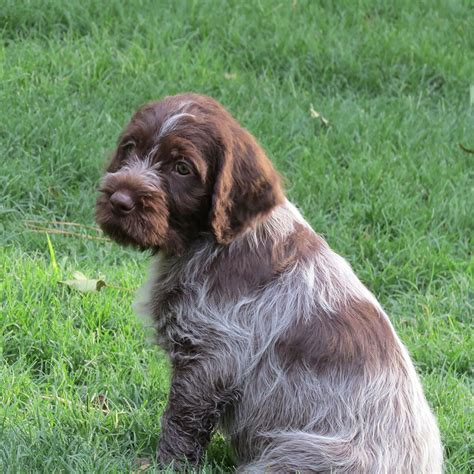 german wirehaired pointer griffon breeds picture