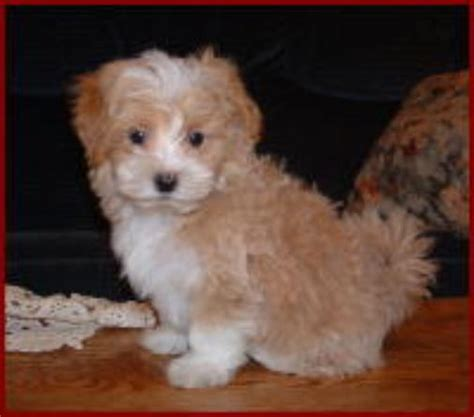 non shedding small mixed breeds non shedding small mixed breed dogs breeds picture