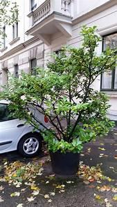 Immergrüner Sichtschutz Im Kübel : kann man kirschlorbeer in einen k bel pflanzen ~ Whattoseeinmadrid.com Haus und Dekorationen