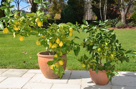 growing citrus trees in pots the tree center