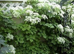 Sichtschutz Pflanzen Blühend : bl hende kletterpflanzen 10 winterharte arten f r garten ~ Markanthonyermac.com Haus und Dekorationen