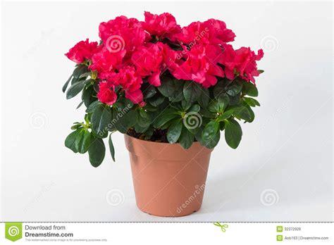 fleurs rouges dans un pot image libre de droits image 32372926