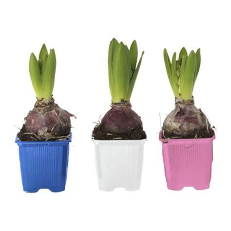 hyacinthus plante en pot 1 bulbe ikea