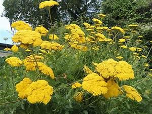 Lorbeer Gelbe Blätter : gelbe stauden pflanzen f r nassen boden ~ Markanthonyermac.com Haus und Dekorationen