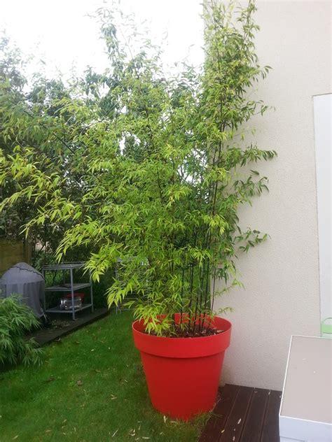 bambou phyllostachys nigra en pot lesbambous fr forum des fous de bambous