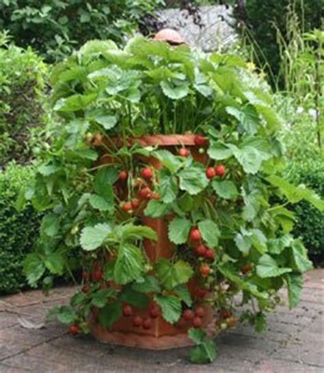 Growing Strawberries Growing Strawberries In Containers