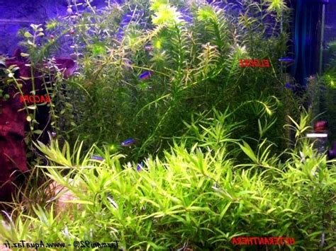 photo plante pour aquarium eau douce