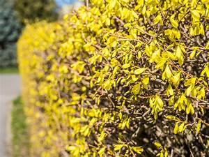 Blühende Sträucher Als Sichtschutz : bl hende str ucher als sichtschutz pflanz und pflanzentipps ~ Markanthonyermac.com Haus und Dekorationen