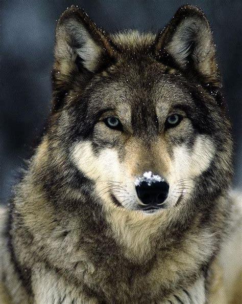 les 25 meilleures id 233 es de la cat 233 gorie loups sur chiots loup deux loups et loups noirs