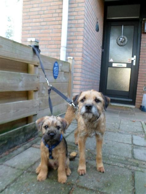 1000 ideas about border terrier on border terrier puppy terriers and terrier puppies