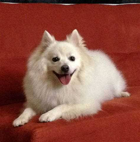 miniature american eskimo shedding 28 images dogs that look similar to pomeranians black