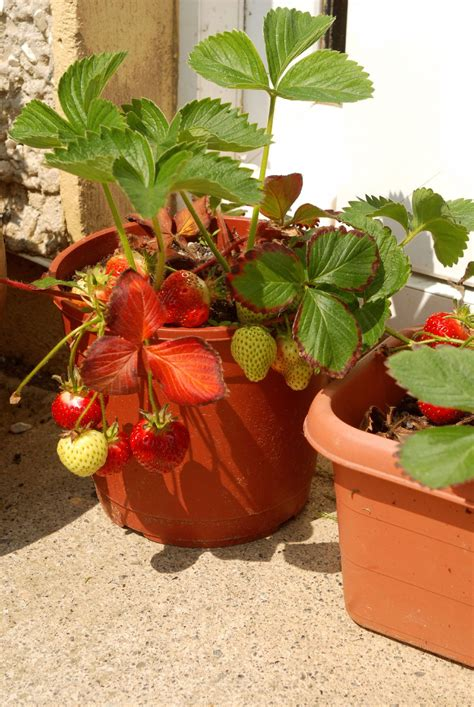 Container Gardening Strawberries  Care Of Strawberry