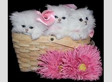 Teacup Persian Kittens for Sale, Doll Face Teacup Kittens