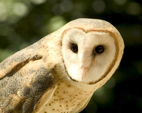 barn owl for barn owl