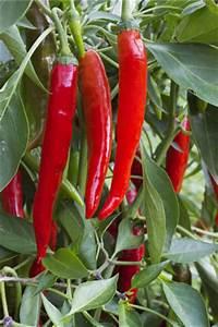Paprika Pflanzen Pflege : peperoni anbau pflanzen pflege und ernten ~ Markanthonyermac.com Haus und Dekorationen