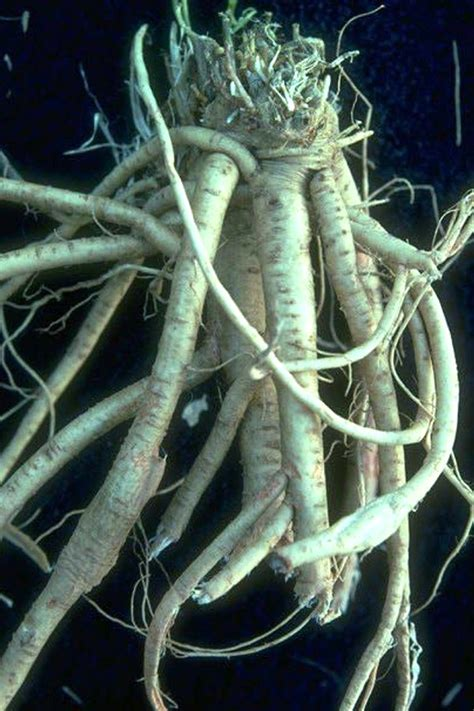 What Is Astragalus Root? Uses And Side Effects