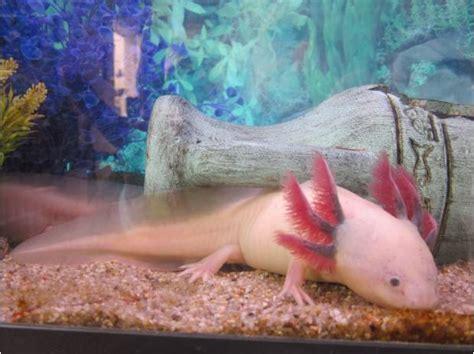 axolotls hibiens poissons d eau froide aquarium achat vente animaux angerville bailleul