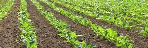 Culture de la betterave à sucre