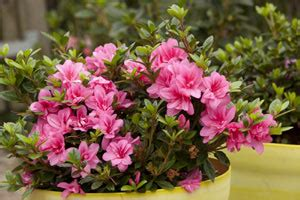 rhododendrons hiver tout