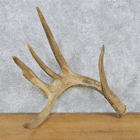 whitetail deer antler shed for sale 12560 the taxidermy store