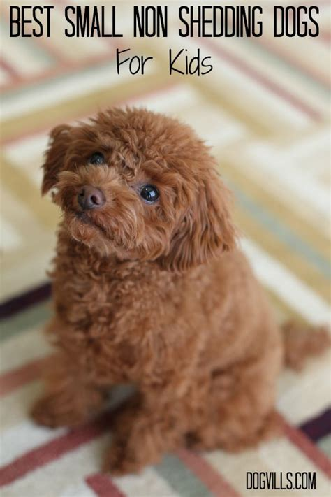 Non Shedding Small Dogs For Adoption by Best Small Non Shedding Dogs For