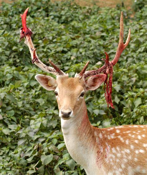Deer Shedding Velvet fallow deer cervus dama shedding velvet from antlers