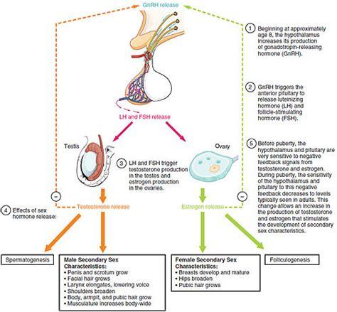 luteinizing hormone