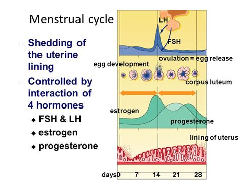 menstrual cycle shedding of the uterine lining ppt