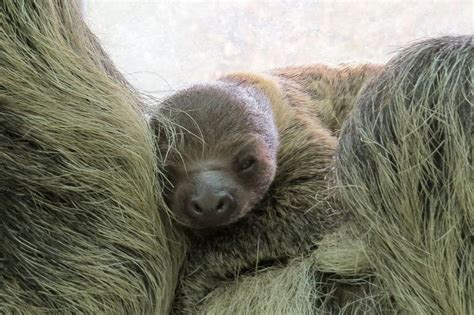 Sleepy Sloth Clings To Mom At Zoo Budapest Hair Color For Asian Round Face Pics Of Short Hairstyles Faces Good Ways To Style Guys Two Strand Twist Transitioning Angled Bob 2016 Back View Easy Long Layered How Curly With Layers Cute A Christmas Party