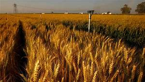 Nonapproved strain of genetically modified wheat ...