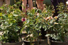 Kletterrosen Richtig Pflanzen : kletterrosen wann ist die beste pflanzzeit ~ Markanthonyermac.com Haus und Dekorationen