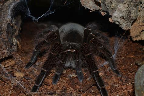 l araign 233 e la plus grosse du monde araign 233 e goliath ou mygale de leblond theraphosa blondi