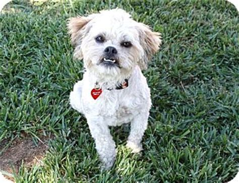 griffin i do not shed adopted bellflower ca lhasa apso brussels griffon mix