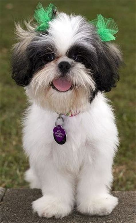 shih tzu hairstyles looks just like my friend like comment repin haha