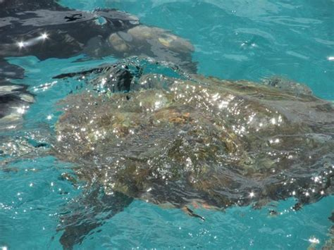 Catamaran Day Trip Barbados by Swimming With The Turtles Picture Of Barbados Excursions