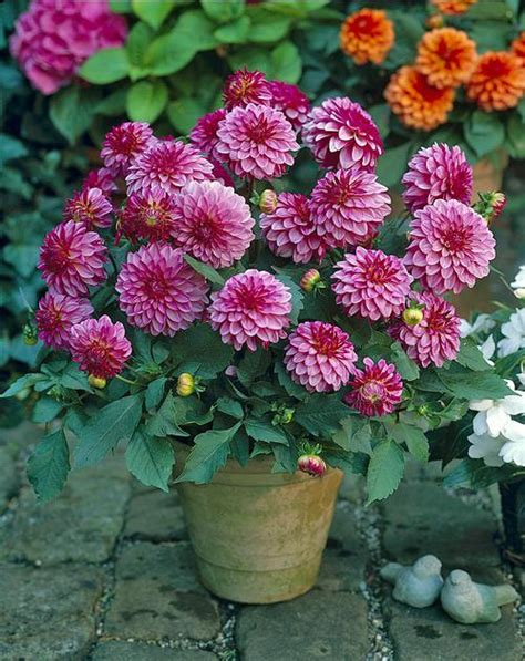 pot dahlia dahlia gallery sisley from growing colors