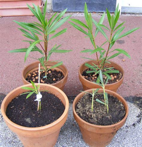 bouturage entretien et identification du lagerstroemia au jardin forum de jardinage