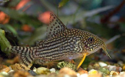 corydoras sterbai poisson de fond corydoras aqualux concept