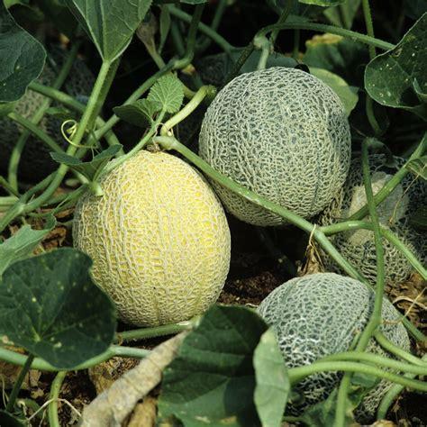 melon planter et cultiver ooreka
