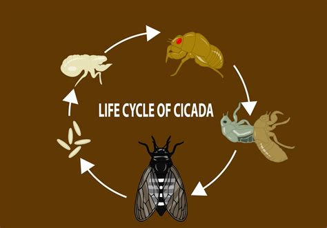 Life Cycle Of Cicada  (2228 Free Downloads