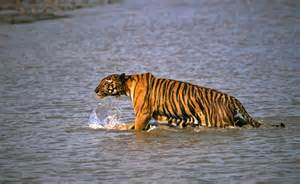 Movie Boy In Boat With Tiger by Tiger Leaps Onto Boat Snatches Man In East India Daily