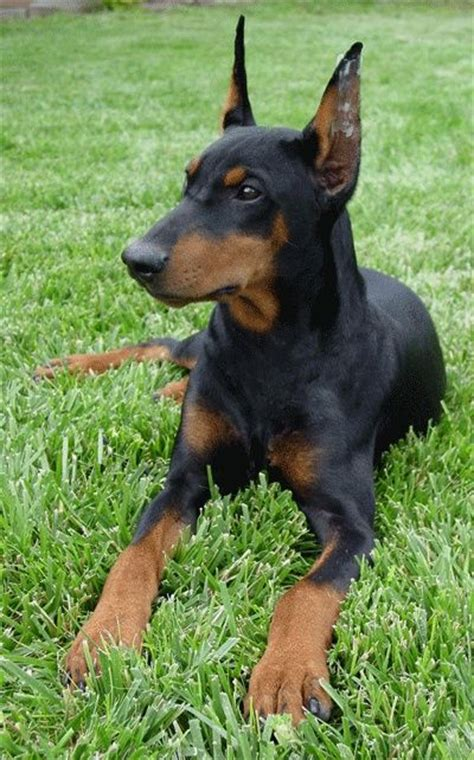 41 best images about german pinscher on