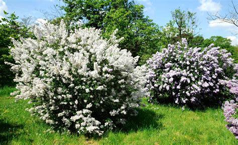 lilas planter et tailler ooreka