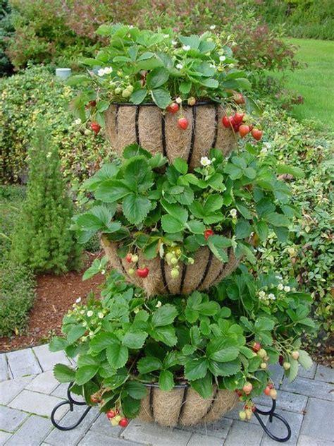 Growing Strawberries Wwwcoolgardenme