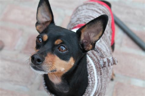Do Miniature Pinschers Shed by Min Pin Chihuahua Mix Temperament Breeds Picture
