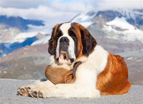 do st bernards shed photos best and worst breeds for new owners the dogs