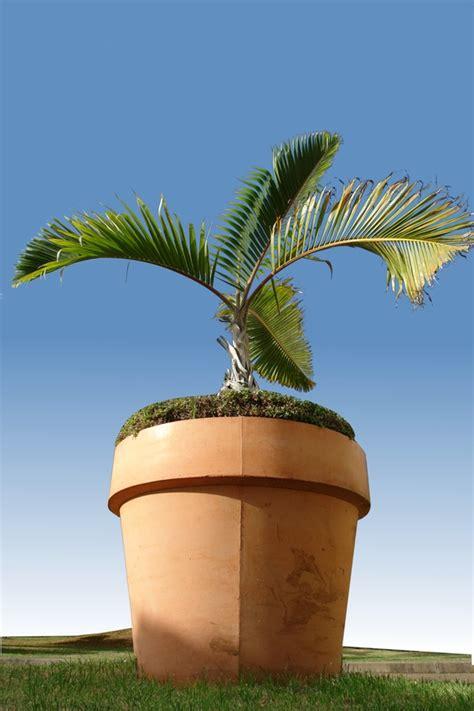 palmier pour balcon