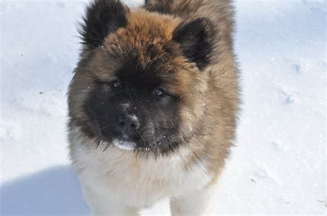 do akita dogs shed hair haired akita puppy breeds picture