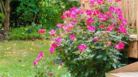 rosier planter un rosier bouture taille c 244 t 233 maison